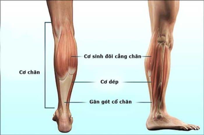 máy tập cơ bắp chân là gì
